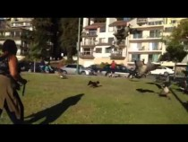 Dog Chases Geese At Lake Merritt Oakland